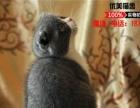 出售精品折耳猫 蓝白折耳银渐层折耳猫