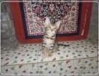 北京专业世界名猫繁殖基地出售纯种 豹猫 质保三年