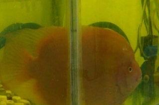 金刚鹦鹉鱼30厘米1条 四纹虎鱼9厘米1条图片
