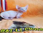 猫舍出售纯种健康无毛猫 可上门挑选全国发货