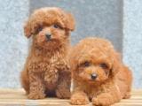 济南 纯种泰迪幼犬 疫苗齐全出售中 可签协议健康保障