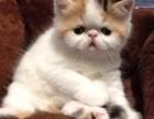 可刷卡可送货 自家猫舍繁殖出售 加菲猫 签正规售后协议