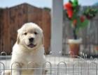重庆犬舍直销 纯种赛级金毛犬 证书齐全 签协议