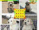 大骨架拉布拉多幼犬,犬舍直销,签协议,包纯种