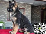 出售纯种弓背平背德国牧羊犬,公母都有,可上门来挑选
