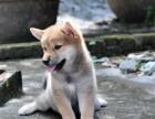 买高品质柴犬 保健康纯种 签售后协议 基地直销