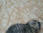 美短小猫咪特价转让啦