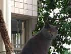 诚信猫舍出售加菲布偶,蓝猫, 可上门挑选