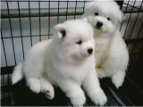 东莞本地 出售萨摩耶幼犬狗狗包健康纯种售后无忧