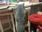 欧洲引进现役种公 蓝色英国短毛猫 对外借配