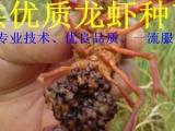 小龙虾苗 小龙虾苗价格 提供养殖技术 包成活包回收