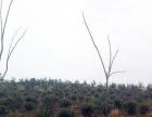 安徽省安庆市桐城市180亩林地转让