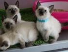 CFA认证猫舍 双血统暹罗猫 全国包邮