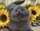 上海 自家蓝猫英国短毛猫幼猫出售找有缘人