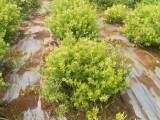 中药材重楼种苗 白芨种苗 黄精种苗 当归种苗