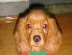 美卡幼犬纯种美国可卡犬幼犬可卡幼犬