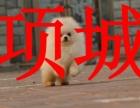 项城本地博美犬销售,周口可以送货,挑选,签协议