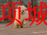 项城本地狗场,销售博美犬,包纯种健康,可送货