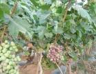 元谋那化葡萄种植基地转让