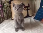 蓝猫照片 青岛哪里有健康的蓝猫出售 青岛哪里有猫舍卖猫咪