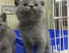 广州买蓝猫到哪里好 自家蓝猫出窝