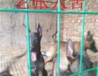 马犬哪里有卖 马犬出售 马犬图片 马犬价格