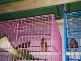 供应芙蓉鸟幼鸟、种鸟