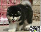 阿拉斯加犬多少钱一只 阿拉斯加犬哪里有买卖的
