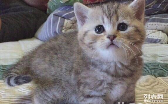 家养可爱英短虎斑渐层立耳猫宠物猫