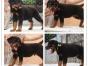 本地犬舍繁殖精品罗威纳犬 健康质保 放心挑选