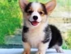 高端品相柯基 专业繁殖 cku认证犬舍协议保健康 哪里买柯基