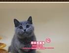 超甜美的英短猫蓝猫小美女2号--思晴名猫坊