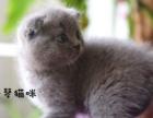 英国短毛猫折耳猫出售
