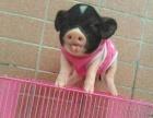 超级可爱宠物猪