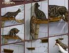 长期特价出售孟加拉豹猫