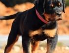 石家庄哪里有卖宠物狗 请问石家庄哪里可以买到罗威纳犬