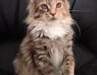 缅因猫找新家