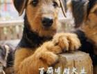 北京**梗犬幼犬出售犬舍直销保活签协议,哪里有卖**梗电话