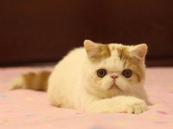 大包子脸加菲猫出售了 身体健康纯种活泼 花色齐全