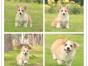 犬舍直销柯基犬 两色三色柯基幼犬签质保包健康终身
