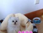广州纯种金吉拉 赛级宠物猫咪金吉拉猫爸爸波斯猫