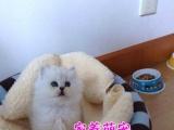 专业猫舍繁殖精品布偶猫咪等各种名猫 品质保障 欢迎