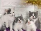 深圳,自家生的英短,可视频看猫,也可送猫上门