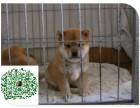 纯种日系柴犬,包九十天健康,售后有保障