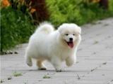 出售纯种澳版萨摩耶一上门挑选狗狗一签协议质保健康