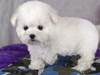 韓國引進大眼睛甜美臉型比熊幼犬保純種健康質保終身