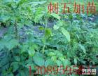 出售 刺五加苗 籽 五味子苗 籽 核桃楸苗 籽 蒙古栎苗 籽