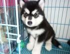 深圳阿拉斯加幼犬纯种巨型灰桃阿拉斯加幼犬熊版阿拉斯加幼犬出售