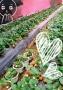 草莓采摘天然无公害