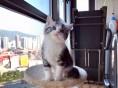 长春哪里有美短猫虎斑加白卖 纯血统 萌翻你的眼球 品质保障